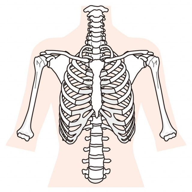 上半身の骨格