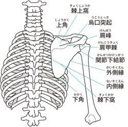 上半身 骨格