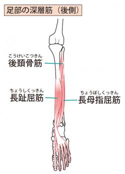 足部の筋肉