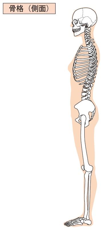 骨格モデル